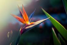Paradise Bird Flower Or Strelizia On A Sunny Summer Day In The Garden.