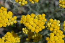 Helichrysum Italicum, Also Kno...