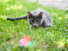 Russian Blue Cat  Hunting In Grass Chasing A Toy