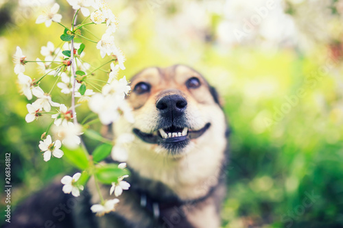Foto auf AluDibond Gelb Schwefelsäure portrait of a cute puppy sitting in a spring may garden among the branches of a cherry blossom and smiling with bared teeth