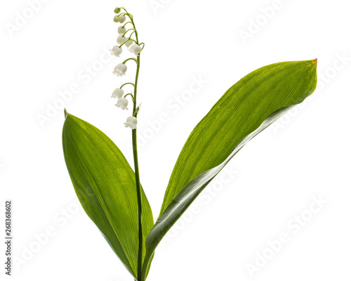 White flower of lily of the valley, lat. Convallaria majalis, isolated on white