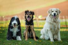 Three Dogs Side By Side In A Garden