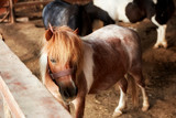Beautiful and cute pony in the barn