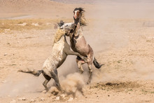 Wild Stallions Fighting In Field