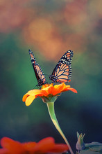 A Pair Of Monarch Butterflies