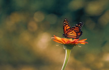 Monarch Butterfly Sitting On S...
