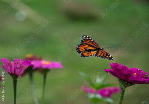 Monarch butterfly soaring with open wings