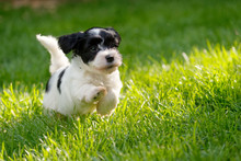 Cute Little Havanese Puppy Is Running In A Spring Green Garden