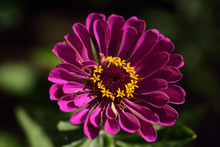 Yellow Disk Florets And Pink R...