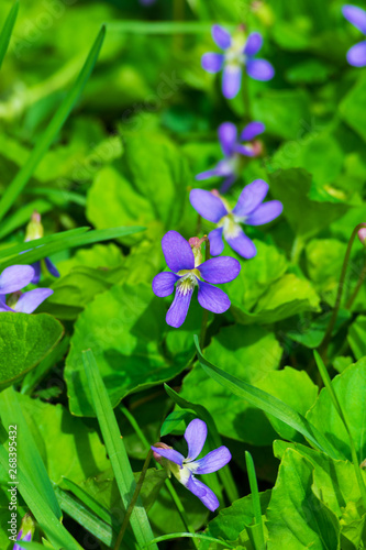 Macro photo of blooming alpine violets (Viola labradorica). Blooming violet flowers in the spring time on a sunny day.