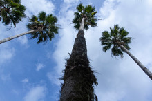 Cabbage Palms Against A Blue S...