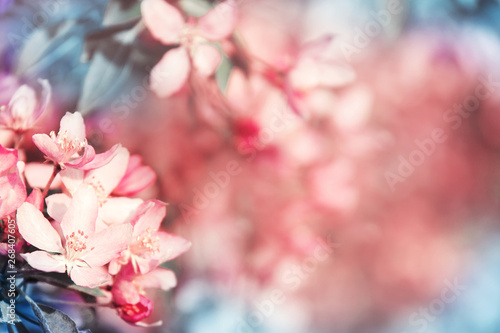 Photo sur Toile Fleur Gorgeous background with blooming coral cherry tree