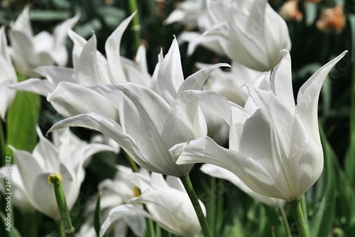 Fototapety, obrazy: White decorative Sapporo Tulip hybrid flowers with spiky flexed petals, sunbathing in spring sunshine