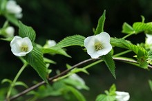 White Flowers And Serrated Margin Leaves Of Decorative Shrub Rhodotypos Scandens, Blooming During Spring Season.