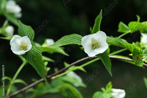 White flowers and serrated margin leaves of decorative shrub Rhodotypos Scandens, blooming during spring season Tapéta, Fotótapéta