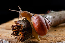 A Small Snail Snail On A Piece Of Wood. Slowly Crawling Snail With A House On The Back.