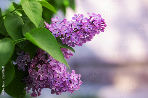 A branch of lilacs with flowers close up, copy space