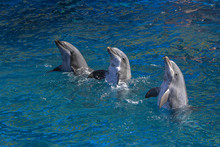 Three Dolphins Performing In T...
