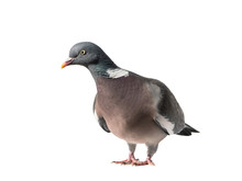 Close Up Of Common European Wood Pigeon Stretching To The Left And Isolated On White Background