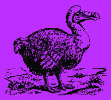 Extinct Dodo (raphus Cucullatus) Standing In A Landscape. Illustration After A Historical Engraving Or Etching From The 19th Century. Editable In Layers