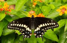Dorsal View Of A Eastern Black Swallowtail Butterfly Feeding On A Lantana Flower