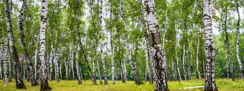 Papiers peints Bosquet de bouleaux Birch grove on a sunny summer day, summertime landscape