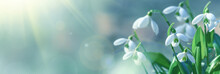 Galanthus Nivalis Or Common Snowdrop - Blooming White Flowers In Early Spring In The Forest, Closeup With Space For Text. Spring Background, Banner.
