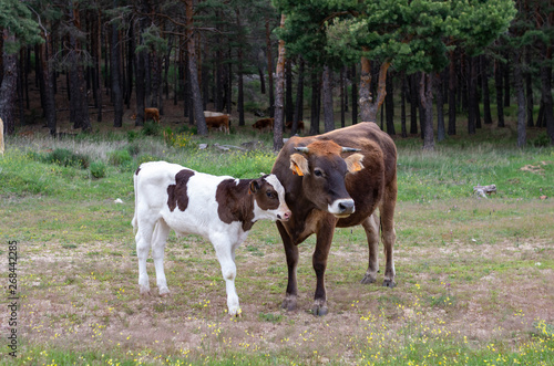 Photo  A brown cow with her young at the edge of the forest
