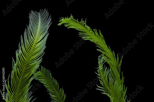 Fototapeta Saltwater Caulerpa taxifolia, Killer Algae, marine alga, seaweed isolated on black background