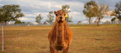 Spoed Fotobehang Kameel Large beautiful camel