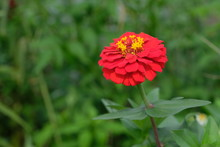 Red Zinnia Flower In Spring An...