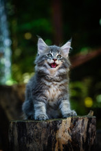 Blue Tabby Maincoon Cat Chilling And Sitting In  Green Garden. Yellow Eyes Cat Outdoor In Daytime Lighting Sitting On Wooden Log, Ground Full Of Falling Leaves. Healthy Gray Kitten In Forest. Autumn.