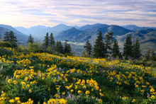 Hiking In Washington. Meadows With Arnica  And Lupine Wildflowers And Cascade Range Mountains Near Winthrop. WA. Unites States.