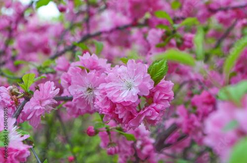 Tuinposter Azalea Sakura tree blossoms