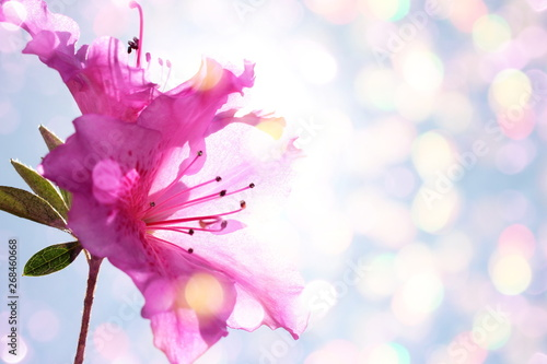 beautiful pink rhododendron flower on colored blurred background with bokeh