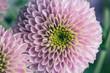 Purple small petals in a flower in bloom macro still