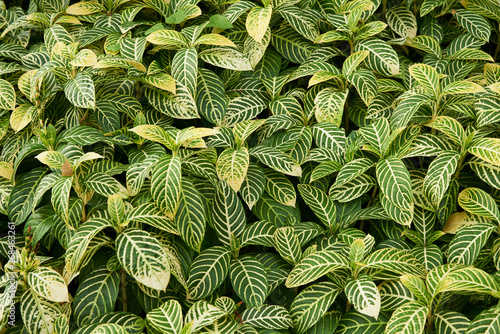 Photo  Background pattern of Sanchezia speciosa Leonard leaves
