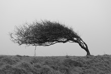 A Single Bent Tree, Weathered ...
