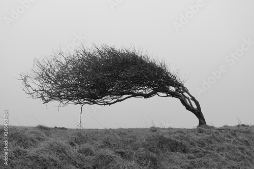 Fotografering A single bent tree, weathered by strong coastal winds