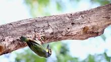 Footage Green Woodpecker Feeding Baby Bird From Nest In Home Flower Garden On Summer.