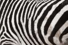 Photo Of The Zebra Skin Fur Te...