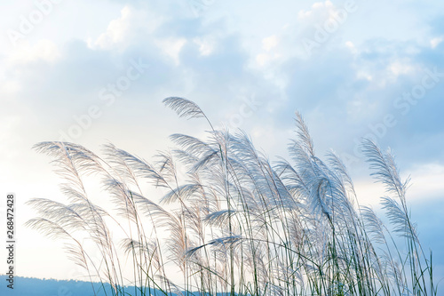 Obraz Gently wild reed flowers in the morning spring. Reed flowers blowing in the wind on beautiful clouds, a range of mountains backgrounds. - fototapety do salonu