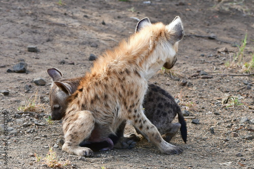 Poster Hyène cute cub of spotted hyaena,South Africa