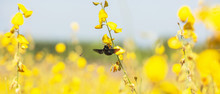 Bumblebee And Bee Pollinating Sunn Hemp Flowers.