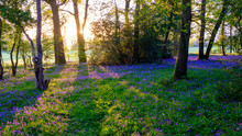 Sunrise In A Bluebell Wood, Hambledon, Hampshire, UK