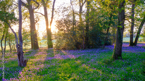 Poster Forets Sunrise in a bluebell wood, Hambledon, Hampshire, UK