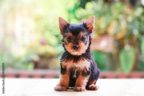 Obraz yorkshire terrier felling happy , Cute puppy yorkie stand on the wood table on the nature background with happy face - fototapety do salonu