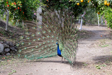 The Peacock Spreads Its Tail