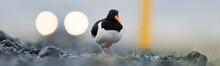 Oystercatcher Bird Crossing Ro...