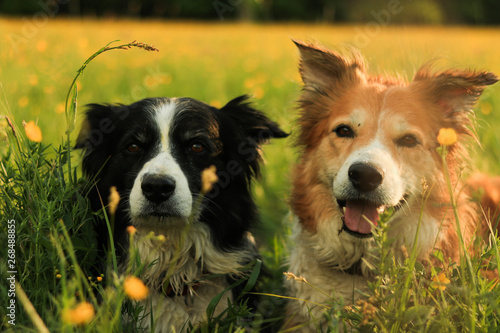 playing border collies in the meadow with flowers at sunset Fotobehang